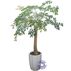 [중국]행복나무[대]